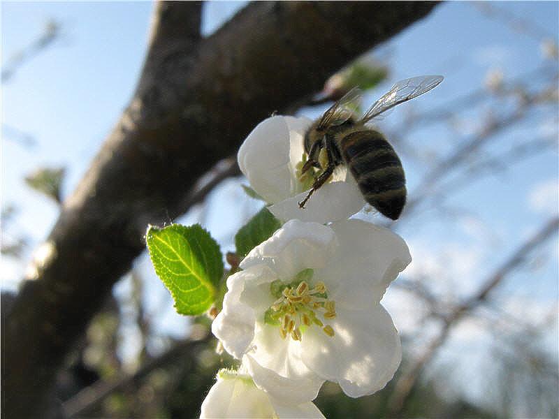 Пчела на цветках яблони