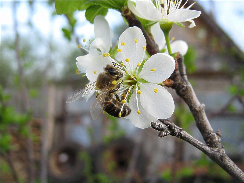 Цветок яблони с пчелой