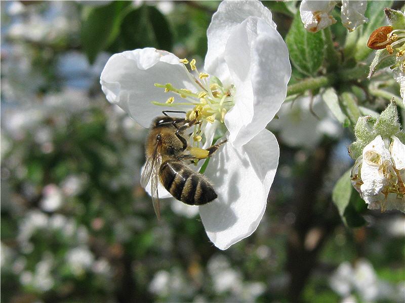 Пчёлка собирает нектар и пыльцу
