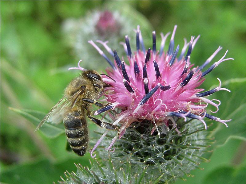 Пчела на цветке лопуха