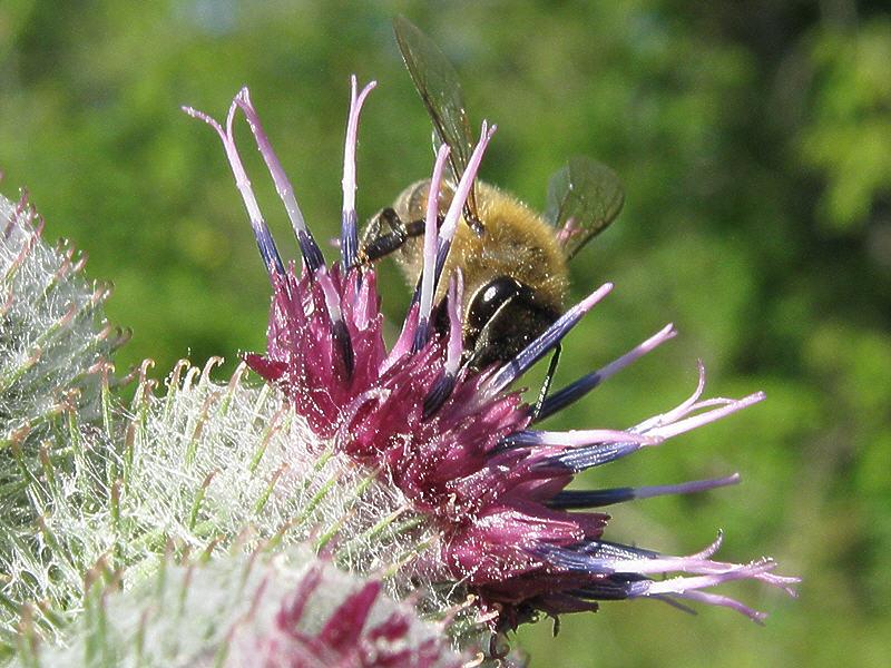 Лопух войлочный и пчела