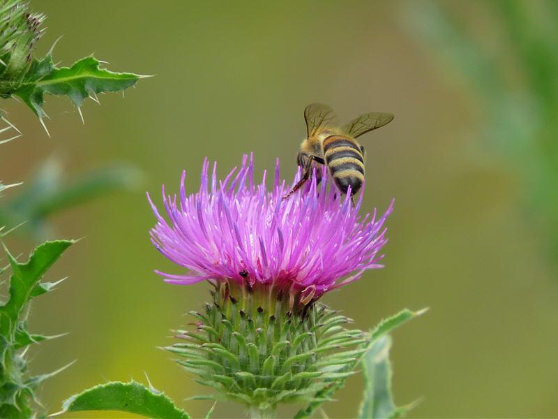 Пчела на цветке чертополоха