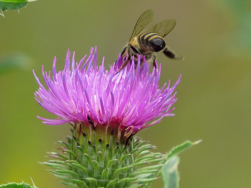 Цветок чертополоха и пчела