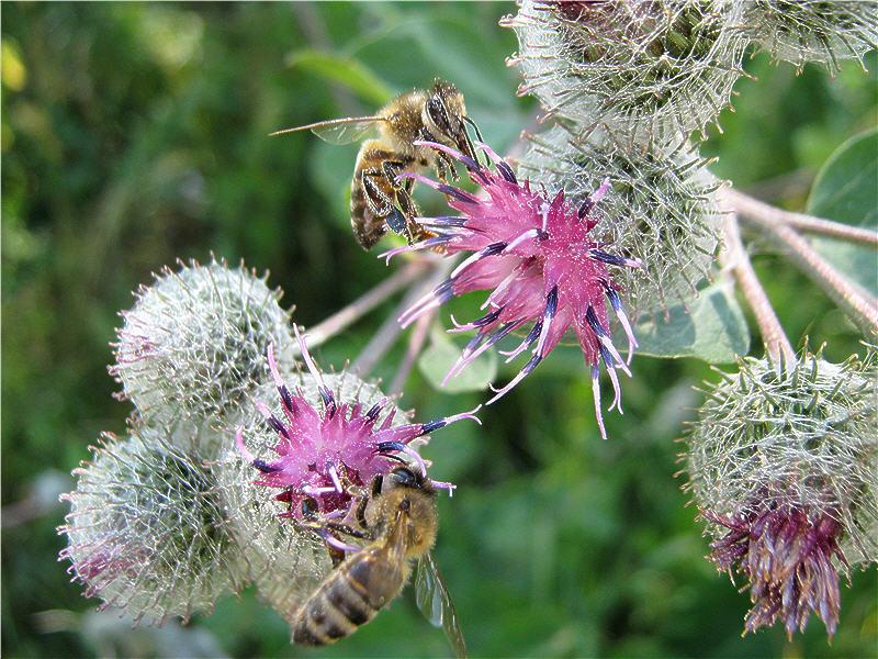 Пчёлы на цветках репейника