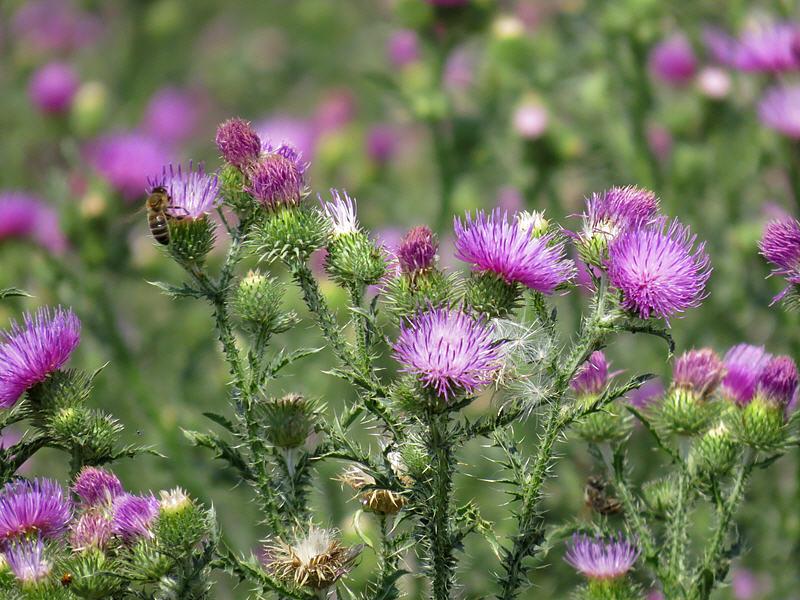 Чертополох колючий и пчела