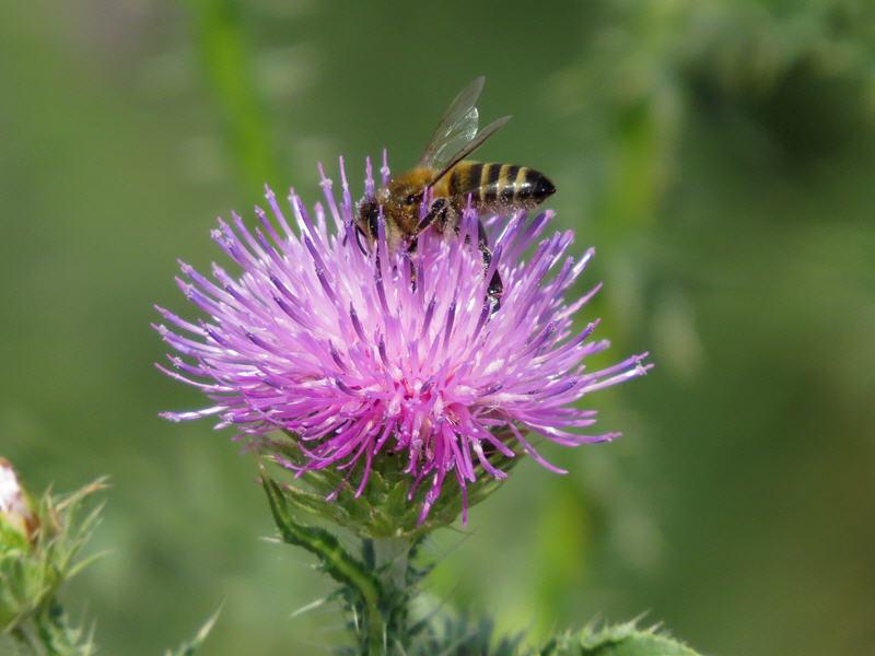 Пчела на цветке чертополоха колючего