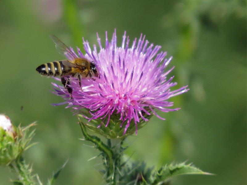 Пчела добывает нектар