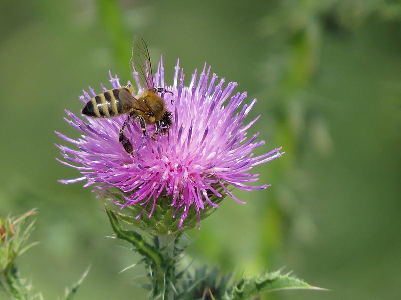 Медоносная пчела на цветке