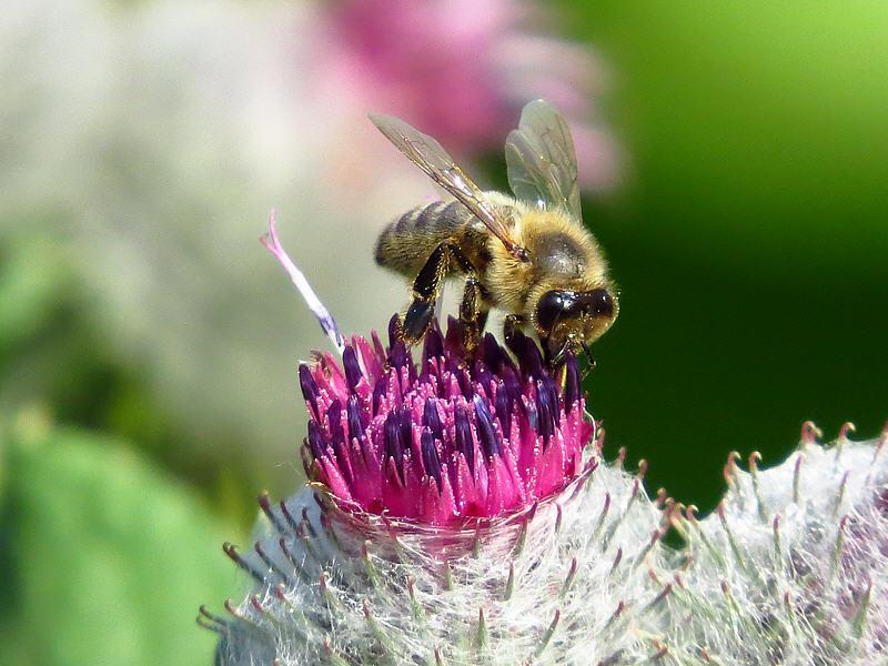 Медоносная пчела на цветке лопуха