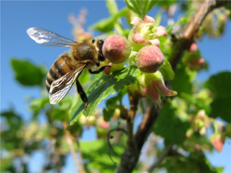 Пчела на цветках смородины