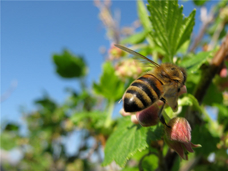 Медоносные пчёлы на цветах смородины