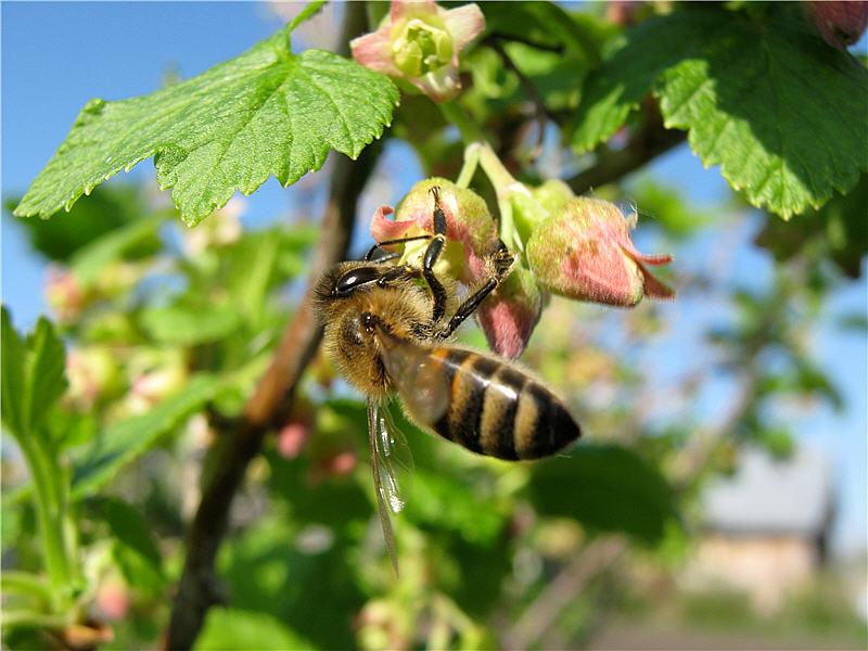 Пчела на цветках чёрной смородины