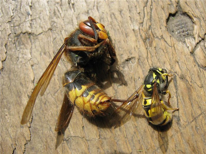 Оса и шершень - враги пчел
