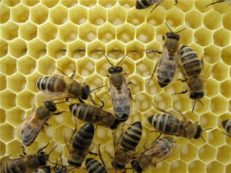 Пчелы на соте