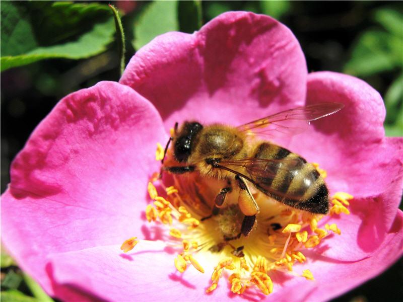 Пчела на цветке шиповника