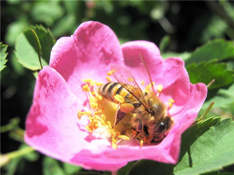 Шиповник - хороший пыльценос