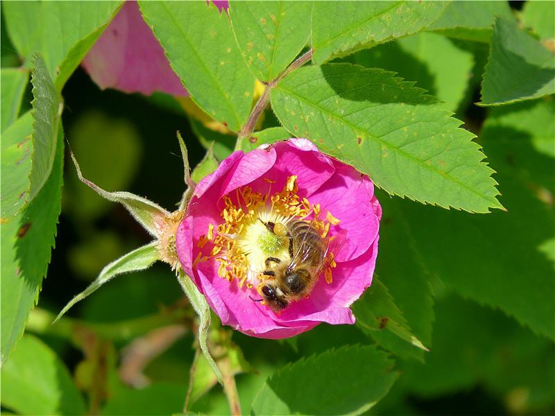 На цветке розы майской