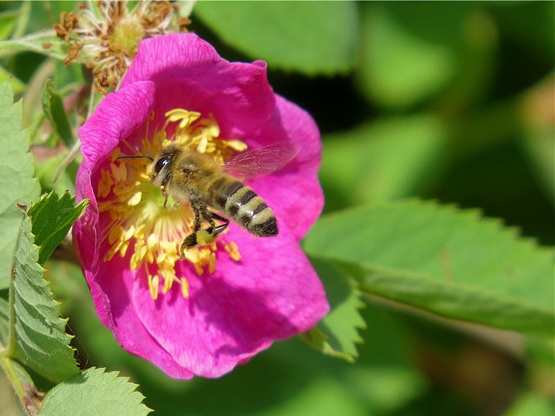 Подлёт пчелы к цветку шиповника
