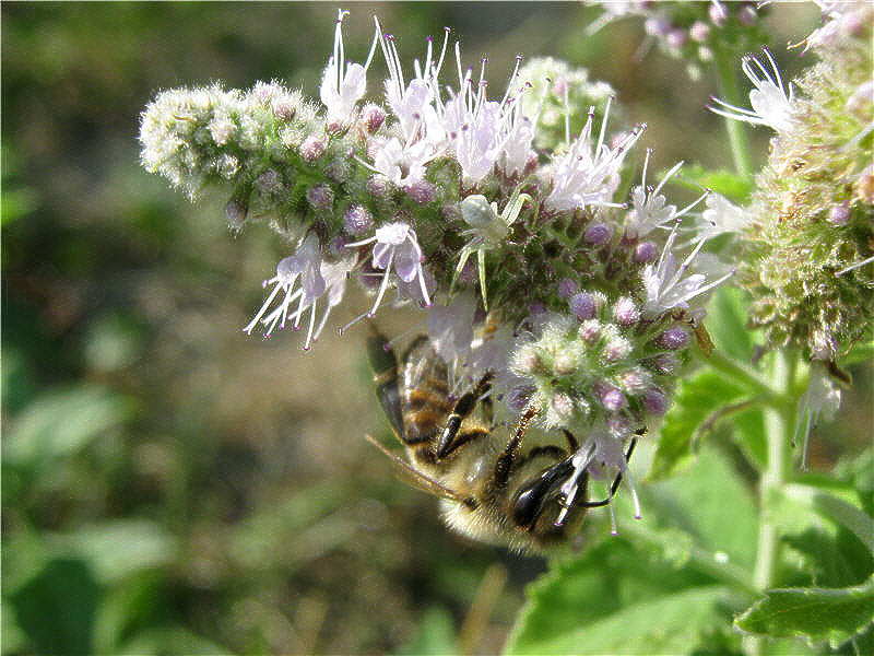 Пчела и мята