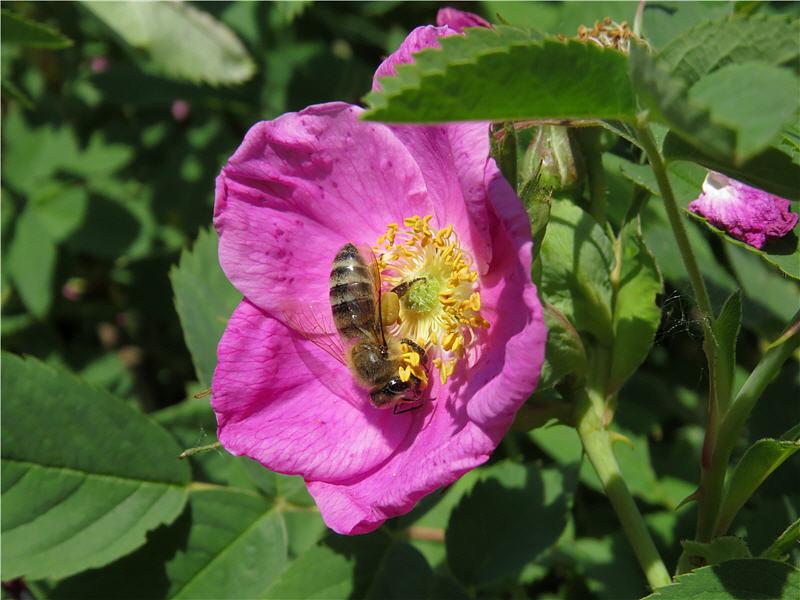 Сбор пыльцы на цветках шиповника