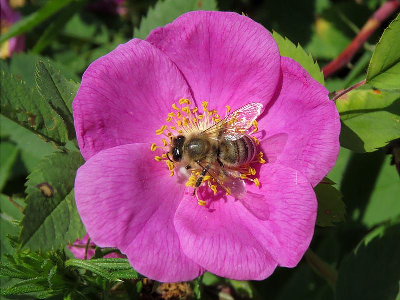 Медоносная пчела на шиповнике