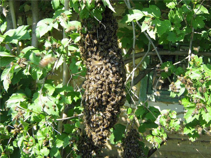 Пчелиный рой на калине