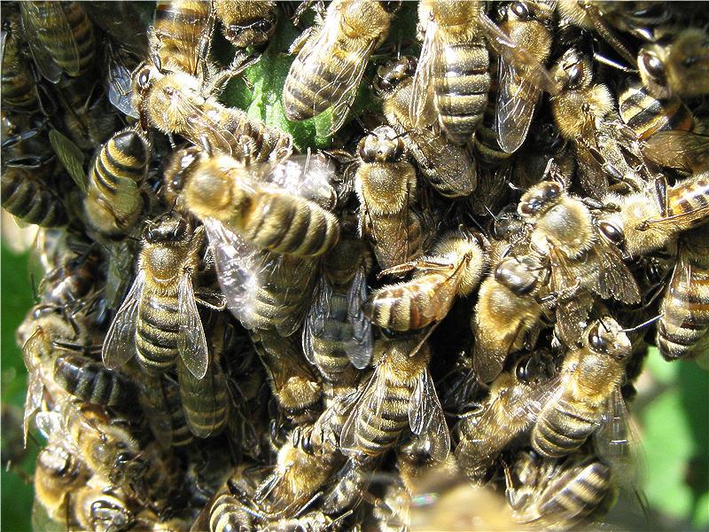 Пчёлы в рою
