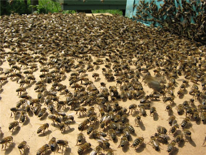 Пчелиный рой входит в улей