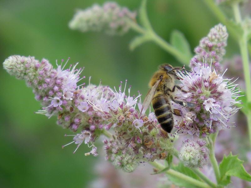 Мята и пчела фото