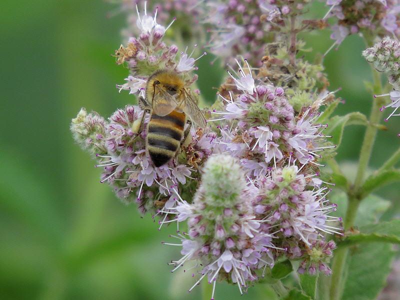 Медоносная пчела и мята