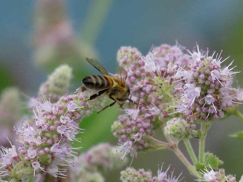 Мята и пчела