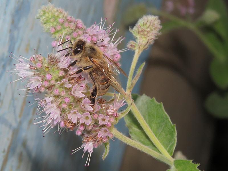 Пчела на цветках мяты