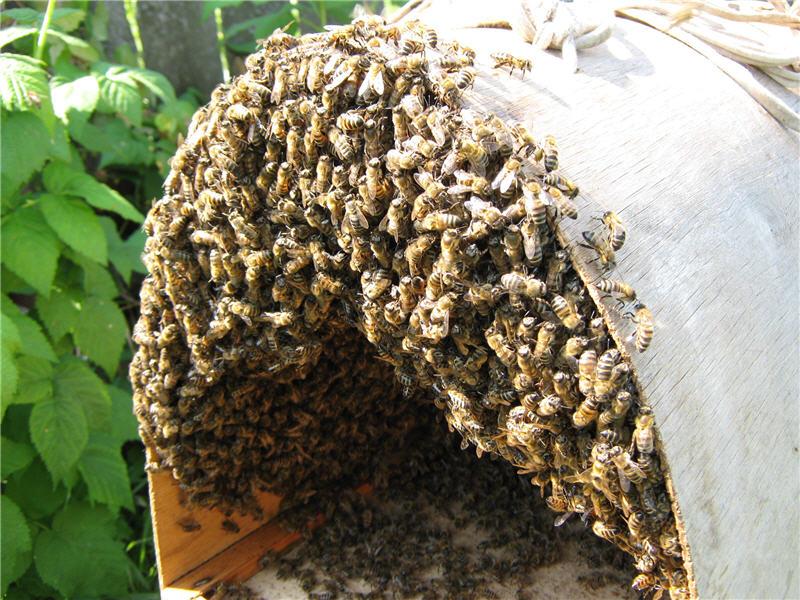 Пчелиный рой в роевне