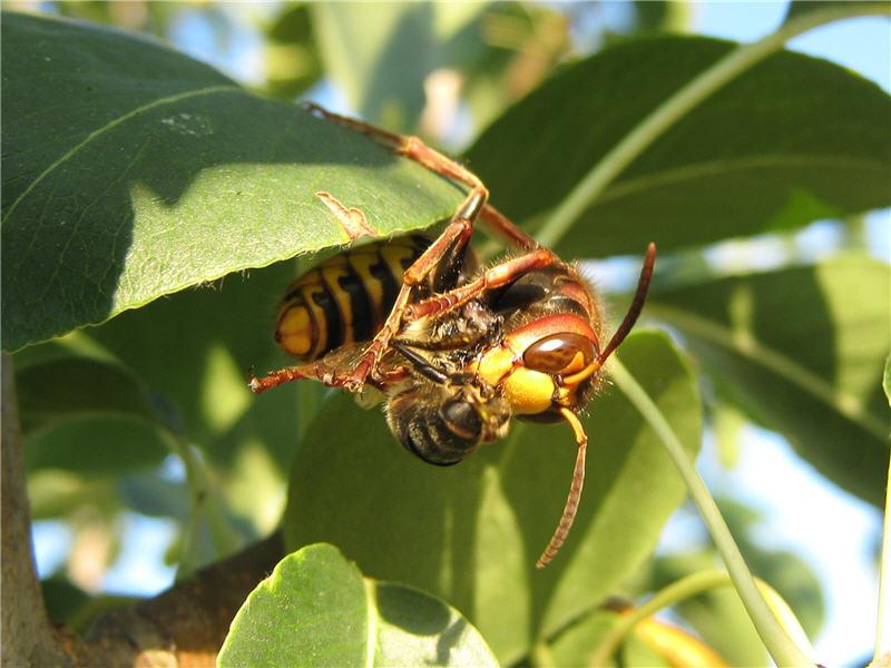 Шершень схватил пчелу