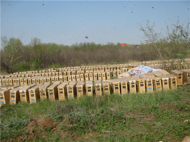 Из Узбекистана пчелопакеты привозят в Оренбург (в плодопитомник там...