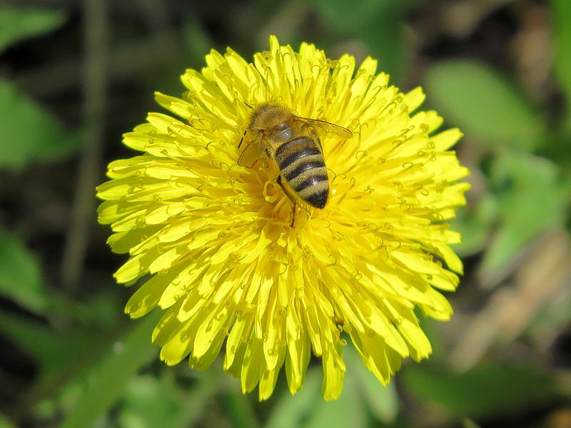 Одуванчик и медоносная пчела