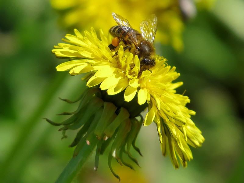 Пчела на цветке одуванчика лекарственного