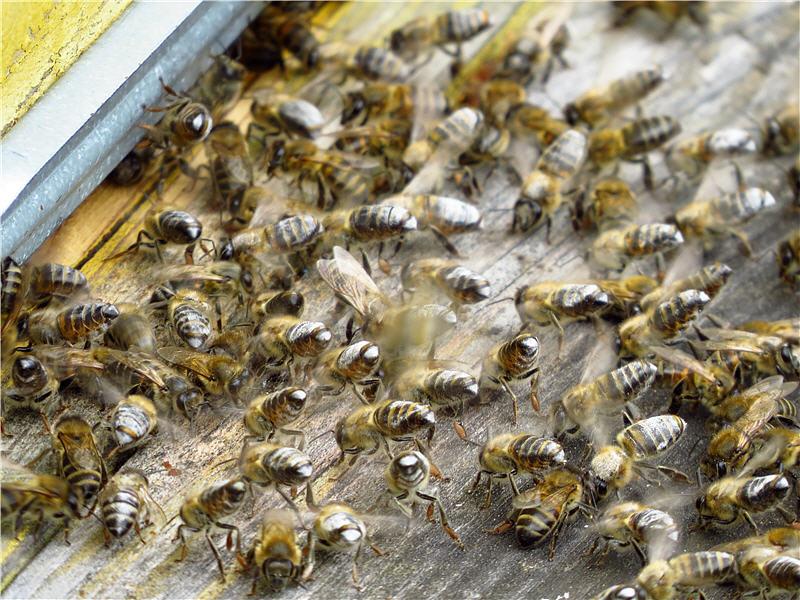 Пчёлы в муке