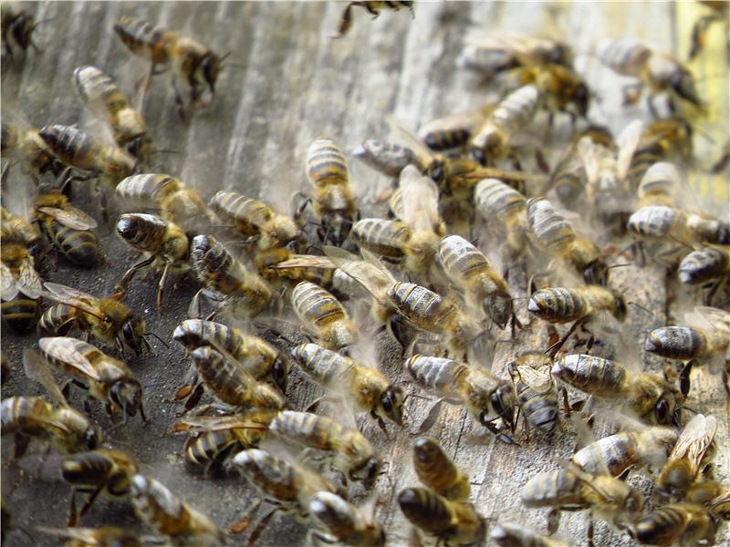 Пчёлы просятся обратно