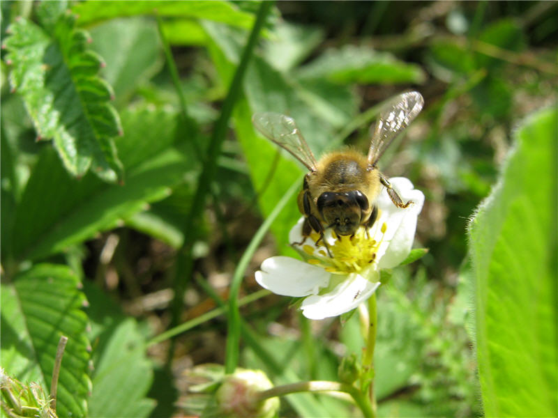 Пчела на цветке земляники