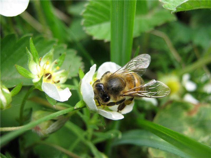 Пчела и земляника