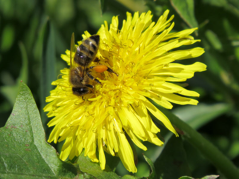 Пчела опыляет одуванчик