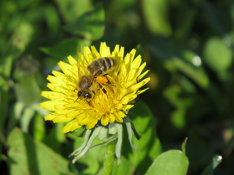 Одуванчиковый мёд - майский мёд