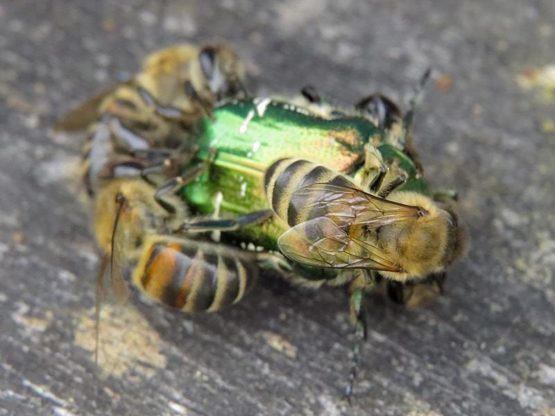 Пчёлы охраняют леток