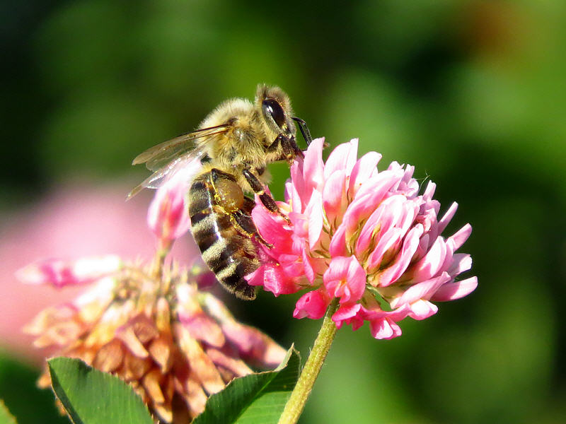 Цветок клевера и пчела