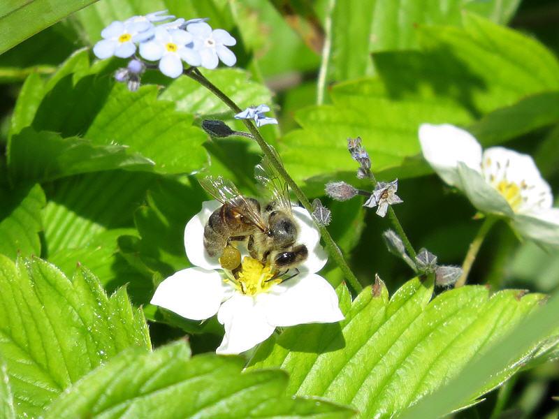 Фотосессия пчелы на цветке земляники