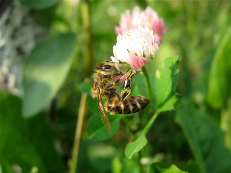 Фото пчелы на цветке клевера