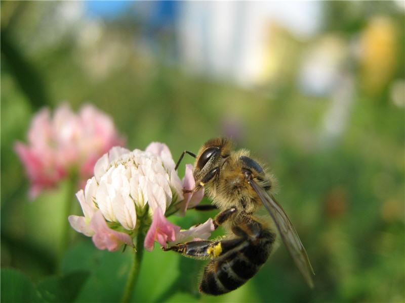 Фото пчёлы на цветке клевера