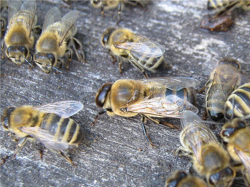 Трутень больше пчелы