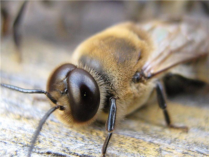 Глаза пчелиного трутня